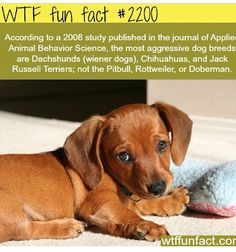 According to a 2008 study published in journal of Applied Animal behavior Science the most aggressive dog breeds are Dachshunds (wiener dogs) Chihuahuas and Jack Russell Terriers not the Pitbull Rottweiler or Doberman. Aggressive Dog Breeds, Funny Animals, Cute Animals, Wtf Fun Facts, Random Facts, Crazy Facts, Random Stuff, Animal Facts, Animal Quotes