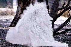 Gorgeous white lion.