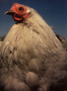 Lavender pekin hen. Pekin Chicken, Chicken Breeds, Poultry, Feathers, Lavender, Colours, Bird, Unique, Animals