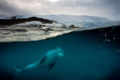 Paul Nicklen and a Leopard Seal
