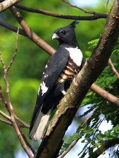Black Baza, Small sized bird of prey found in forests of South Asia & SE Asia #BirdsofPrey