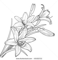 Find Isolated Lily Flowers Bouquet Blooming Buds stock images in HD and millions of other royalty-free stock photos, illustrations and vectors in the Shutterstock collection. Pencil Drawings Of Flowers, Outline Drawings, Cute Drawings, Lilies Drawing, Floral Drawing, Art Deco Flowers, Colorful Flowers, Color Pencil Art, Flower Tattoos