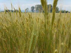 10 ezer év után újra ősi búzafajtát termesztenek Magyarországon | Sokszínű vidék