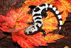 Cool picture, big problem for our state salamander.