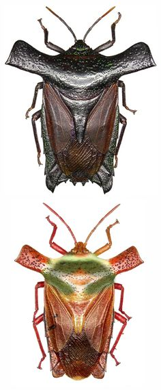 Pygoplatys validus; female, male. If Batman were a bug! Ok, Batwoman...