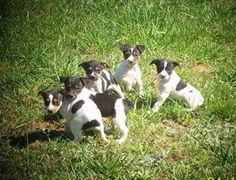 Rat Terrier Tail Length | Rat Terrier | Pet Lovers World