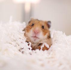 実家でこっさん見てたからとりつる目が小さく感じる!身体も軽く感じる! 帰ったら顎にかさぶたが出来てました🙀 ∬ とり137g🐹 つる112g🐹 こと148g🐷 ∬ 照明のせいなのかモデルのせいなのか実家の方が撮りやすい🤔 Dwarf Hamsters, Cute Hamsters, Bear Hamster, Syrian Hamster, Little Pets, Dog Boarding, Rodents, Guinea Pigs, Mammals