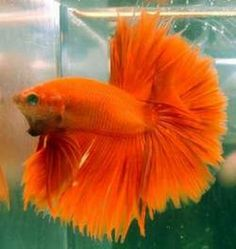 1000 images about betta fish names the many varieties for Beta fish names