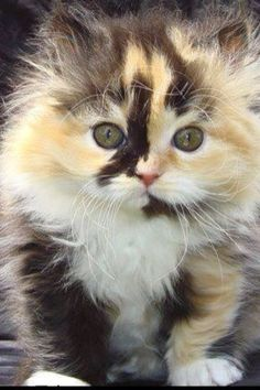 ~ A Little Calico Fluff ~