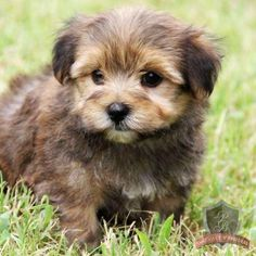 Morkie puppy!! Almost bought one of these cuties today until the boyfriend said no :( But maybe another time :)