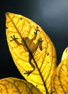 Frog shadow on yellow leaf Beautiful Creatures, Animals Beautiful, Cute Animals, Yellow Animals, Photo Animaliere, Fotografia Macro, Frog And Toad, Tier Fotos, Tree Frogs