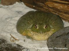 Pixie Frog Frog Pictures, Animal Pictures, Frog And Toad, Frog Frog, Animals Beautiful, Cute Animals, Cute Frogs, Forest Friends, Cute Little Things