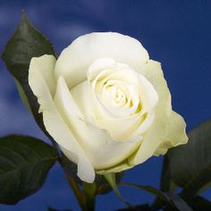 Almost Pure White Roses | GlobalRose.com