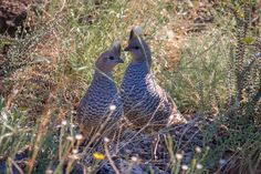 Scaled Quail  Callipepla squamata   One published record:  Blacklock saw two in the Nueces Bay area Mar. 21 and 25, 1962. Formerly ranged to the Central Coast. (AFN 1962)