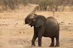 Zimbabwe is selling off its wildlife to save animals from a devastating drought Wild Life, Wolf Watch, Elephant Shower, Save Animals, Wild Animals, Majestic Animals, Wild Nature, African Elephant, Science And Nature