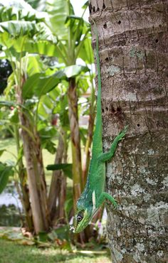 Anolis equestris - Knight Anole -- Sighted: Florida