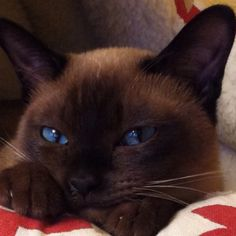 the tonkinese - this is a cat who will follow you around, ride on your shoulder and be involved in all family activities.