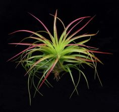 Growing #Tillandsias in #Glass Orbs-Care Instructions