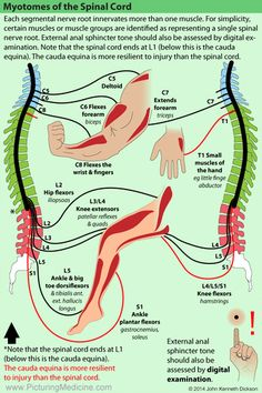 Pin by Lulalu on Anatomie/diseases Physical Therapy School, Hand Therapy, Massage Therapy, Muscle Anatomy, Body Anatomy, Le Mal A Dit, Nerve Anatomy, Spinal Nerves Anatomy, Medical Anatomy