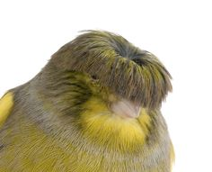 The Gloster Canary