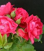 I am also considering a John Cabot climbing rose. Supposedly hardy to zone 3.