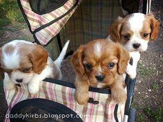 Daddykirbs Farm: Cavalier King Charles Spaniel Puppies at 6 weeks old.