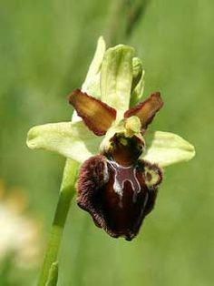 ophrys sphegodes - Cerca con Google