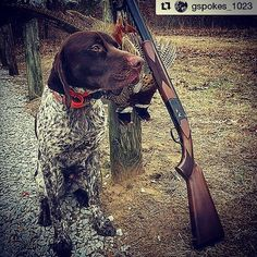 Are you ready for bird season? #Repost @gspokes_1023 ・・・ Fall is here=Huntin season is here (nearly) -- In a few short weeks we'll be chasing after pheasants, sharpies, and Huns in Big Sky country! #birddogoftheday #germanshorthairedpointer #orvisdogs #gundog #upland #hunting #cabelascanine #itsinmynature #pheasant #gspofinstagram #GSPoftheDay #GSPokes #czshotguns #canvasback #czshotgun #czusa #huntingdog #birddog #12gauge #20gauge #huntinglife #uplandbirdhunting