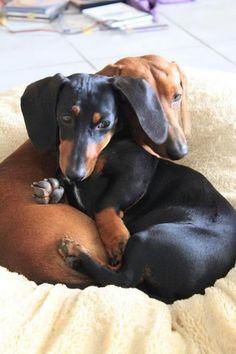 Dachshund Duo - mine do this all the time!