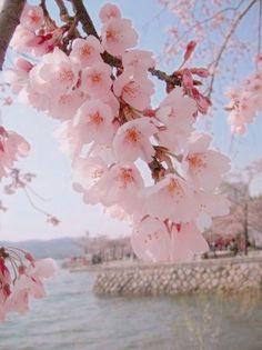 Hermosas de flores de cerezo
