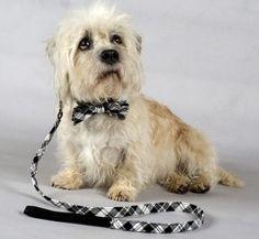 La CASA D/'OLIVA ® Scottie Westie Highland Terrier Dog sciarpa bianco e blu CANI