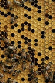 """Hard-Working Honey Bees ~ And Their Work of Art ~ The Honeycomb."""