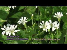 Bosmuur (Stellaria nemorum) is een kruidachtige, vaste plant uit de anjerfamilie (Caryophyllaceae).   Looking for broadcast footage? Don't shoot! Contact http://www.stockshot.nl/ ©   playlist flora: http://www.youtube.com/view_play_list?p=EBD9CA52B81836F6  playlist stinzenflora: http://www.youtube.com/view_play_list?p=5833EA271B039C14