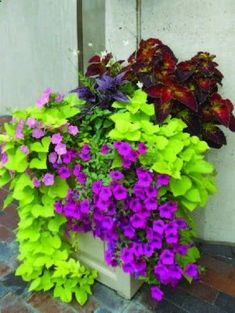 Sweet potato vine, coleus , and wave petunias