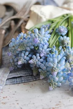 Beautiful little muscari, with your spring-sky blue appearing from the earth...