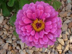 I heart u. Zinnia, 2014, MPB Garden Photos, Zinnias, Heart, Flowers, Plants, Plant, Royal Icing Flowers, Flower, Florals