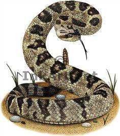rattlesnake - Cerca con Google