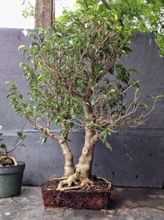 How about some love for a ficus benjamina? | Adam's Art and Bonsai Blog✖️Art  Ideas  Home  Beauty ✖️Fosterginger @ Pinterest✖️