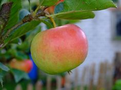 Malus d. `Ecolette` | appelbomen | Korneland Dit ras is volledig schurftresistent en daardoor bijzonder geschikt voor biologische teelt. Elstar x Prima