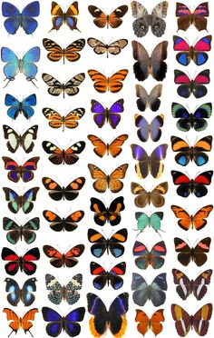 CENTRAL_SOUTH_AMERICAN_BUTTERFLIES_BUGSDIRECT.COM.jpg (1386×2186)