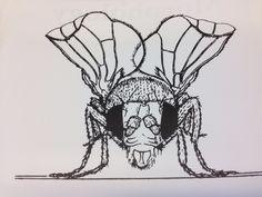 Drosophila CyO