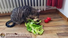 Kaninchenfan Lucky - Mein Kaninchenloch: Schnucki eat salad yesterday evening (^_^) he was the first at the food bowl (^_~) Lucky and Snow where to late (^_^)  #cats #katzen #kaninchen #rabbits #pets #haustiere  http://kaninchenfanlucky-meinkaninchenloch.blogspot.de/2015/01/schnucki-eat-salad-yesterday-evening.html