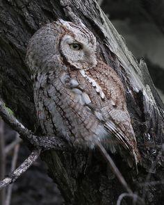 Eastern Screech Owl | Flickr - Photo Sharing!