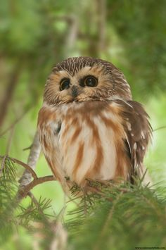 Northern Saw-whet Owl / Petite nyctale -