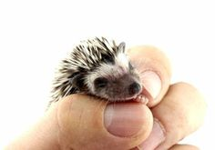 african pygmy hedgehog - Google Search