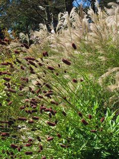 The grass backdrop allows the small seed-heads of the forefront to be noticed.  It also reveals how crimson colored the seed-heads are.  Fall interest. Miscanthus and Sanguisorba   Planting for Fall Drama