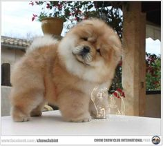 I know you are talking to me, I'm trying to hard to understand what you're saying #ChowChow