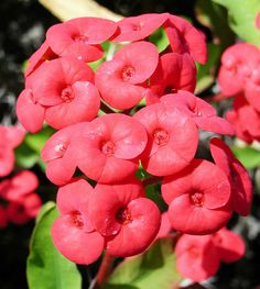 Euphorbia Crown Of Thorns