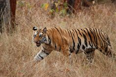 Madhya Pradesh & Chhattisgarh  (India). 'This is tiger country, and  tiger-spotting elephant and jeep  safaris are off ered in several  national parks.' http://www.lonelyplanet.com/india/madhya-pradesh-and-chhattisgarh