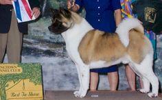 BIS BISS CH Tuscandeel's Texas Brew AOM ROM Japanese Akita, American Akita, Akita Dog, English Mastiff, Shiba Inu, Dog Owners, Dog Breeds, Corgi, Texas